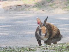 B7313220 (VANILLASKY0607) Tags: rabbit bunny animal okunoshima rabbitisland wildanimal nature cute sofig photo