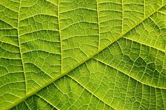Leaf (Kviht) Tags: leaf walnut network summer backlight gimp nikon tree