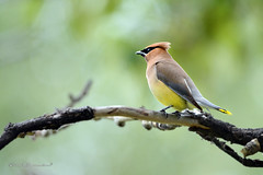 Cedar Waxwing (Boreal Impressions) Tags: brown bird forest river wings shiny gray feathers crest alberta cedar waxwing cedarwaxwing silky bombycillacedrorum lemonyellow passeriformes blackmask bombycillidae brilliantred waxdroplets