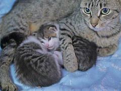 Mama & Babies_12 (AbbyB.) Tags: mtpleasantanimalshelter easthanovernj newjersey shelter pet rescue adopt petphotography shelterpet cat kitten momandkittens babies kitty