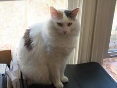 DSCF2359 (Tim Pearce, Los Gatos) Tags: cat princess fifi white diluted calico medium hair pearce american