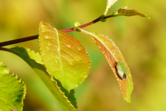 Grn brfis (evisdotter) Tags: stinkbug grnbrfis light colors bokeh sooc nature macro