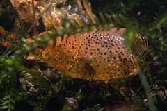 Molted carapace (Arne Kuilman) Tags: vinkeveenseplassen zandeiland duiken diving olympus freshwater lake night nightdive nachtduik 60mm carapace crayfish zoetwaterkreeft vervelling skin