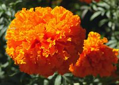 Kwiaty z mojego ogrodu (tomek034 (Thank you for the 1 000 000 visits)) Tags: kwiat kwiaty ogrd flora flower natura