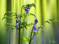 Bleubells in the woods (Wilma van Oorschot) Tags: wilmavanoorschot angelphotography olympusem5 olympusomde5 leicadgmacroelmarit45f28 bleubells woods forrest nature outdoor light green purple bleu fern