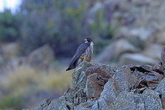 Peregrine Falcon, Big Sur, Monterey, California (Terathopius) Tags: bigsur montereycounty california usa peregrinefalcon falcoperegrinusanatum falcoperegrinus