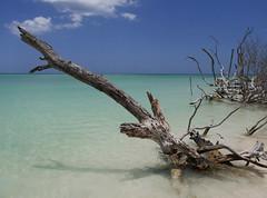 Stick in the Mud (ja_ka) Tags: ocean tree playa jutias beach dead clear