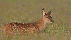 Red Deer fawn (Hammerchewer) Tags: reddeer deer fawn wildlife outdoor animal