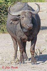 cape buffalo2 (syncerus caffer caffer) (Colin Pacitti) Tags: capebuffalo synceruscaffercaffer buffalo bovine wildanimal animal mammal outdoor choberiver botswana coth fantasticwildlife hennysanimals sunrays5 coth5