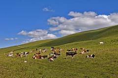 Summer time , cows bells ... My Switzerland.  No. 8330. (Izakigur) Tags: cow swiss suiza suisia suizo sussa dieschweiz d700 nikond700 nikkor nikon nikkor2470f28 animal bern berna jura chasseral summer cows clouds switzerland svizzera schweiz vache summertime europa cantonofbern
