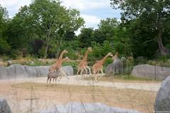 Course girafes ! (Johanna Viala) Tags: girafe pzp parczoologiquedeparis zoodevincennes animaux