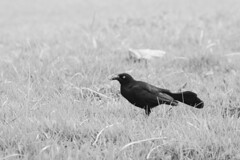 Great Tailed Grackle (Zahid - At sea - Thanks for the views ,Favs and co) Tags: animal bird greattailedgrackle close up monochrome blackandwhite outdoor grass field foliage black white contrast beak food eating depthoffield sanjuan eyes feather tail