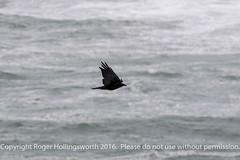 Raven (doublejeopardy) Tags: raven crow thelizard bird gale mist cornwall places sea lizard england unitedkingdom gb