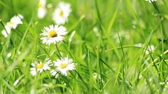 Wildness (cattan2011) Tags: traveltuesday travel england landscape wild grassland petal macro nature flowers