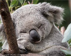 Sleepy Time (Charles Connor) Tags: koalas bears currumbinanimalsanctuary goldcoast australia australiannature australiananimals australianwildlife furryanimals furry cute naturephotography canon100400lens canoneos canon7dmk11