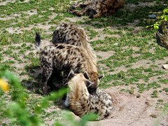 Hyenas (VALV!DAL) Tags: hyene hyenas hyena family love peel animals animal savane savana wildlife predator predateur famille mother female femelle cuddle calin nature sauvage animaux canid canine wild territory territoire exterieur photografy photografer photographie photographe