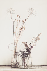 My collection of seedpods (aenee) Tags: aenee month7touchingbase oneyearwiserclass bestilloneyearwiser monthseven roomtobreath kimklassen stilllife seedpods zaaddozen driedflowers dsc1697 20160805