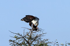 African Fish Eagle (Bird Aficionado Stan) Tags: sabisands sabisandsgamereserve africanbird south africa