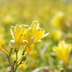 Color of Happiness (michael.veltman) Tags: yellow flowers color of happiness light bokeh