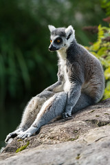 Chill Ring-tailed lemur - Lemur catta (seb-artz) Tags: chill ringtailed lemur catta animal nature nikon d7100 150600mm tamron zoo zoosofnorthamerica relax sit ngc