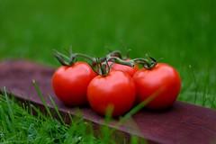 Tomatoes (padge83) Tags: nikon d5300 tomatoes bunch green bokeh macro red garden