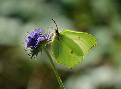 Brimstone butterfly in Ryton Woods (robmcrorie) Tags: brimstone butterfly ryton woods warwickshire coventry sssi wildlife nature reserve forest
