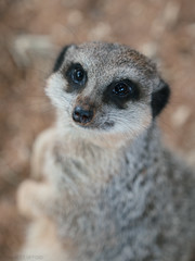 Muddy-nosed Meerkat 1 (alex props) Tags: meerkat bristolzoo animal outdoors