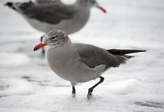 Sea of Foam - Heermann's Gull (Explored) (Brad Rangell) Tags: heermannsgull gull bird rockawaybeach pacifica california pacificocean beach outdoors