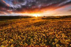 Goldfields Sunrise (Jaykhuang) Tags: wildflowers goldfields livermore sunstar sunrise burn backlight trivalley bayarea eastbay springtime jayhuangphotography