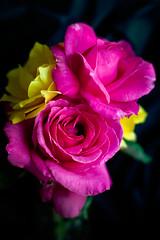 To be disciples, not true believers (hjl) Tags: flowers green petals pink rose samyang samyang85mmf14 stilllife windowlight yellow