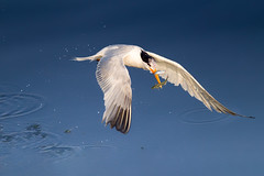 Twofer (Patricia Ware) Tags: birdsinflight bolsachicaecologicalreserve california canon ef400mmf56lusm eleganttern fullframe huntingtonbeach thalasseuselegans httppwarezenfoliocom 2016patriciawareallrightsreserved specanimal