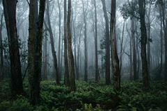 Enchanted (nicporterphoto) Tags: forest mist fog strangerthings green nature trees wood