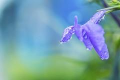 """獨樹一""""紫""""  6D+新百微 嬌滴滴 (seyo′s Image story) Tags: 微距 紫 散景 ray"""