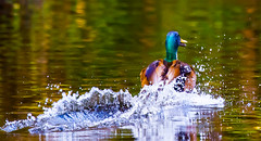 Bow-wave (Steve-h) Tags: nature natura natur naturaleza bird duck animal hybrid mallard drake spray splashdown landing action bowwave colour colours chestnut brown orange iridescence green blue white waterdrops drops water pond lake park bushypark dublin ireland europe ef eos canon camera lens digital exposure spring may 2016 wildfowl wildlife aquaticbird bright outdoor outdoors steveh reflections