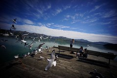 The Flying Chip #foto #sonya7 #ultrawideangle #ultrawideheliar #voigtlander #ultrawide #akaroa #canterbury #newzealand #seagulls #nz (@fotodudenz) Tags: voigtlander 12mm ultra wide heliar angle sony a7 sonya7 the flying chip foto voigtlander12mm ultrawideangle ultrawideheliar ultrawide akaroa canterbury newzealand seagulls nz