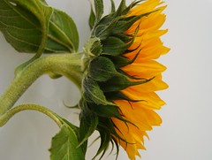 The Sunflower (Clare-White) Tags: sunflower yellow flower petals closeup white challengefactorywinner unanimous