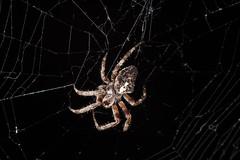 IMG_8445 (petrosli) Tags: spider web nature macro closeup canon eos500d eos
