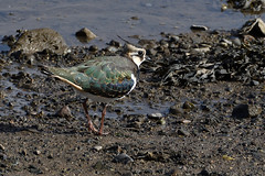 Lapwing. (stonefaction) Tags: birds nature wildlife eden estuary scotland guardbridge lapwing