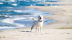 beauty :) (RwA-) Tags: golden retriever sea poland olympus eps7 100300mm summer