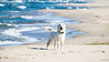 beauty :) (Rafau_) Tags: golden retriever sea poland olympus eps7 100300mm summer