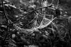 wie ein Fischernetz - b&w (Florian Grundstein) Tags: spider web net dew morning drops droplets water cold bw blackandwhite monochrome nikon fx d610 nikkor 24120 f40 nature natural windy spinnennetz monochrom einfarbig schwarzweis natur drausen morgens oberpfalz bayern heimat florian grundstein macro makro details schrfentiefe textur