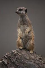 Timon! (Kim Ledin) Tags: animal zoo meerkat sweden wildlife eskilstuna surikat