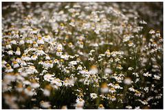 flowerfield (XsomniumX) Tags: nature field natur pflanze feld landschaft margeriten