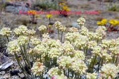 100_1196 (sierrarainshadow) Tags: eriogonum var ovalifolium nivale