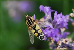 citroenpendelvlieg (Agnes Van Parijs) Tags: insect syrphidae lavendel zweefvlieg fbdg citroenpendelvlieg flickraward mygearandme
