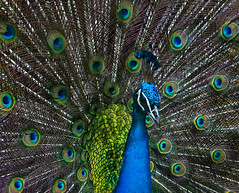 Show Off (NatashaP) Tags: closeup peacock