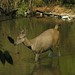 Deer cooling off, Khao Yai National Park, Thailand