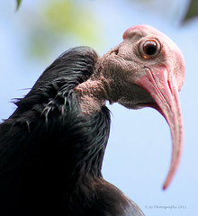 Bald Ibis (sgribbin) Tags: bird nature canon outdoors wildlife ibis t3 lowryparkzoo baldibis