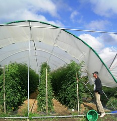 Charlie Koh examines staked hierlooms (NOFA_NY) Tags: field tomato day farm tomatoes hepworth hierloom staking