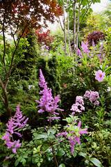 Astilbe chinensis flowers in the lower garden (July 25) (Four Seasons Garden) Tags: fourseasonsgarden